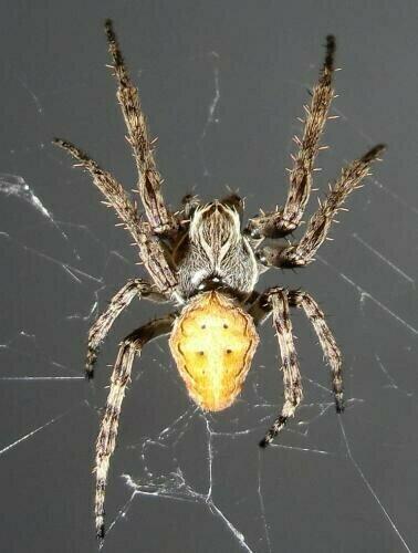 Larinioides
