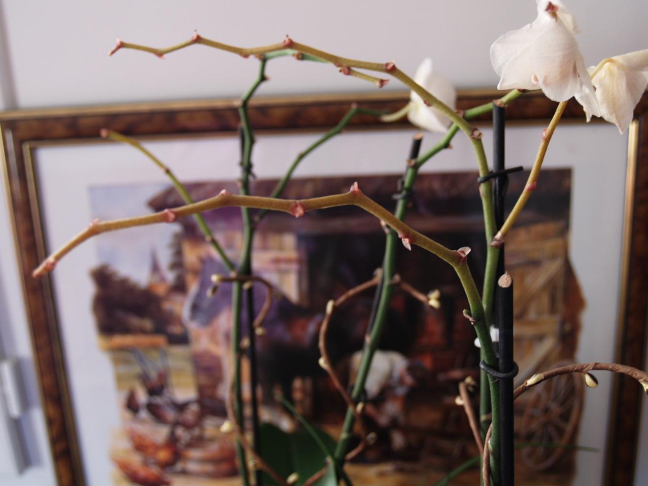 orchidée qui perd toutes ses fleurs.que faire?? - jardinage