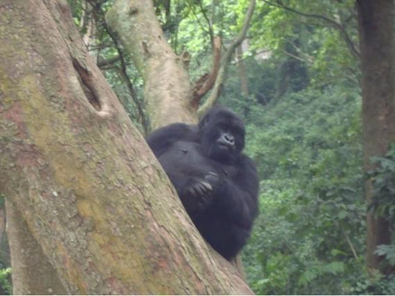 Gorille Male Adulte