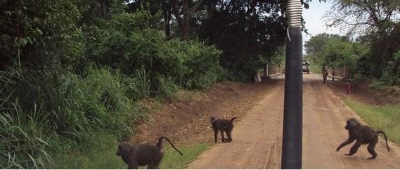 Singes Bonobo dans le parc Virunga RDC