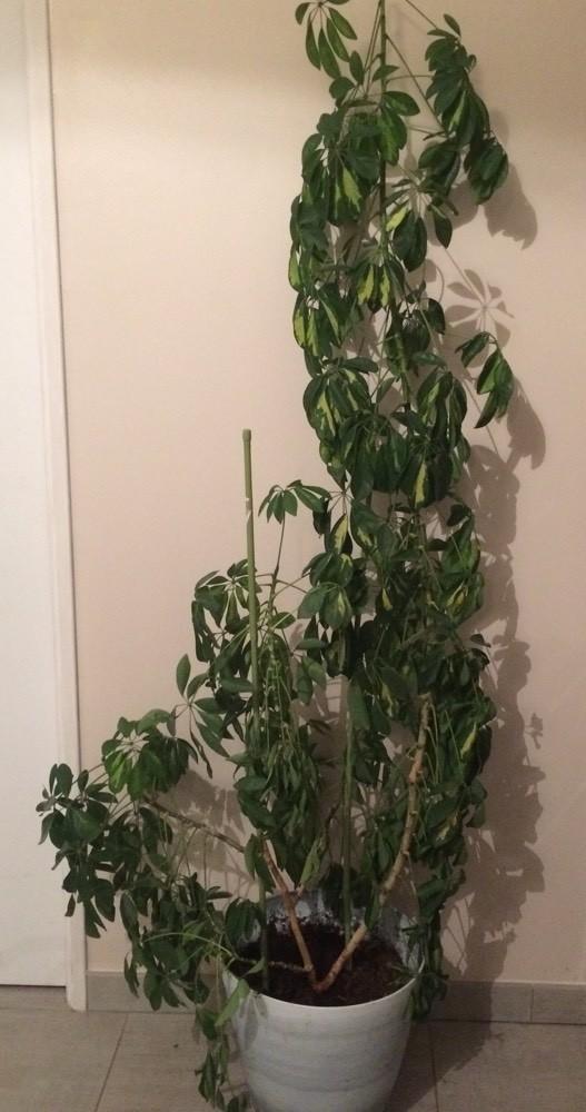 Ficus feuilles vers le bas (photos) - Jardinage - FORUM