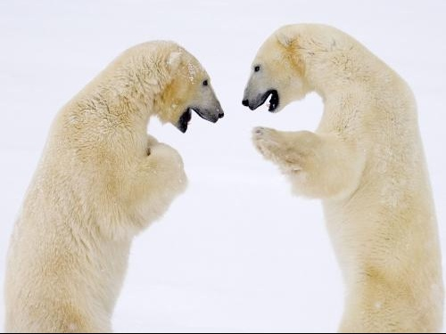 Male_Bears_Sparring,_Hudson_Bay,_Manitoba,_Canada
