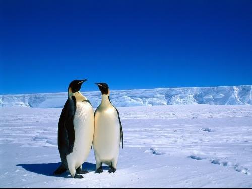 _Emperor_Penguins-_Antarctica