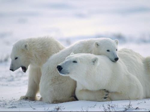 Bearly_Awake-_Churchill-_Manitoba-_Canada
