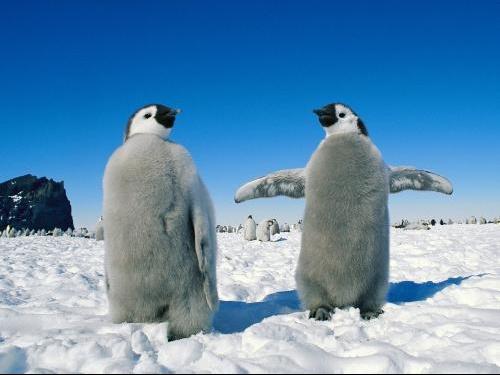 Emperor_Penguin_Pair-_Antarctica