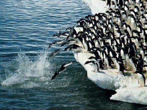 Adelie_Penguins-_Antarctic