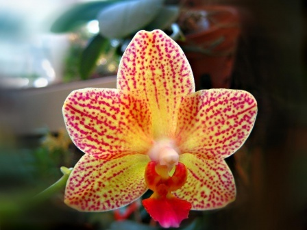 Une-belle-orchidee-visoflora-