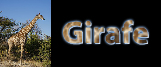 Girafe 001