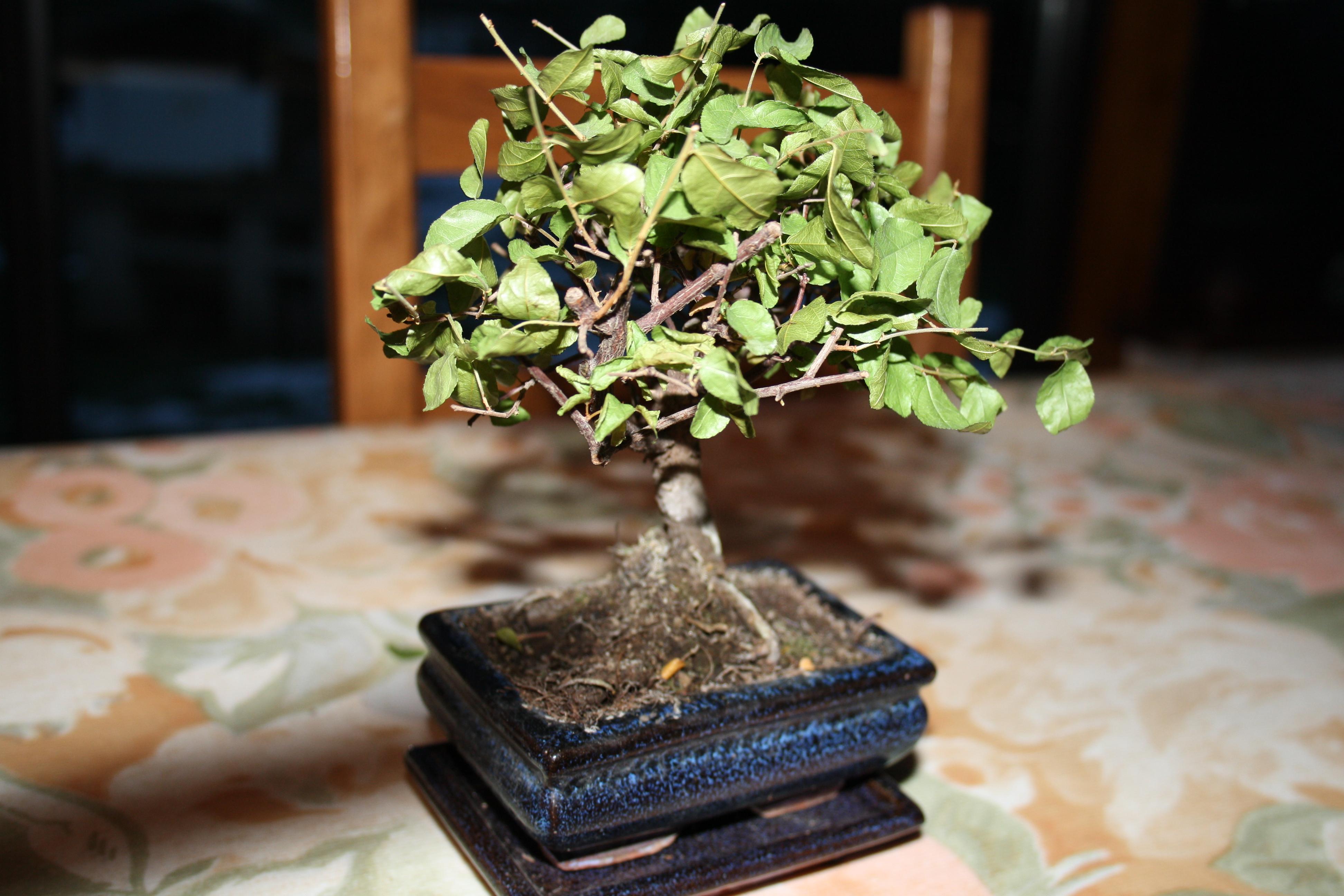 mon bonsai perd ses feuilles – secretstoeating