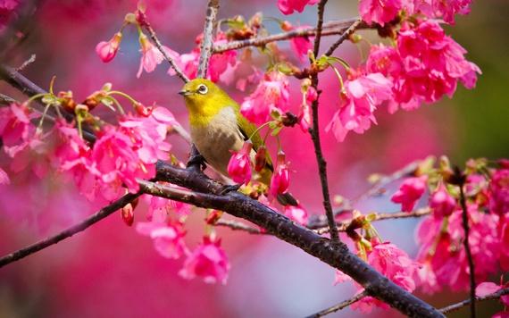 Oiseau dans un cerisier