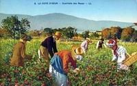 La cueillette des roses à Grasse