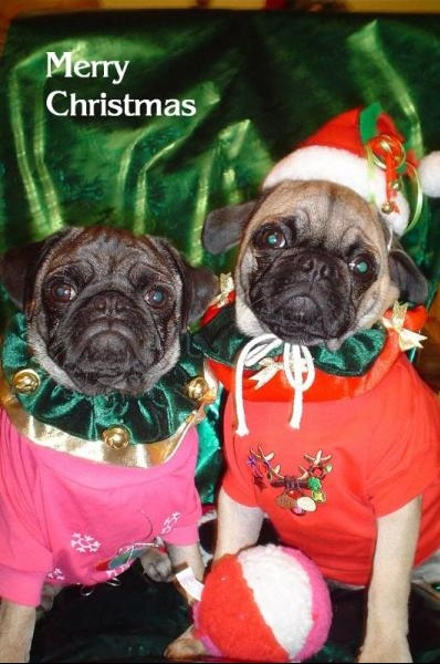 Christmas Pugs picture - Webshots