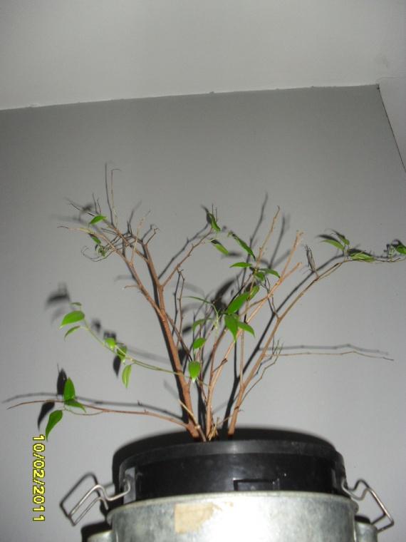 ficus: en hiver? - jardinage - forum vie pratique