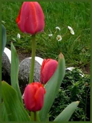 autre-pays-tulipe-chez-photos-printemps_250463