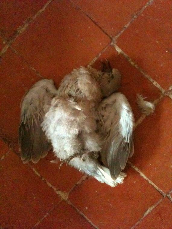 Pigeon ou tourterelle?