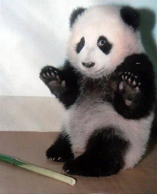 panda+apprehende