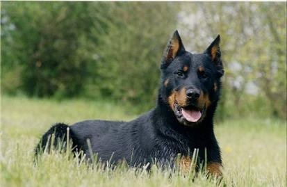 Beauceron France Dog
