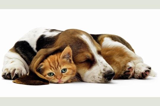 lola-chaton-ginger-son-ami-basset-hound-349278