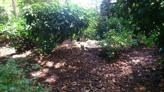 Chat roux et blanc dans les buissons
