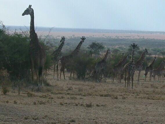 07Girafes