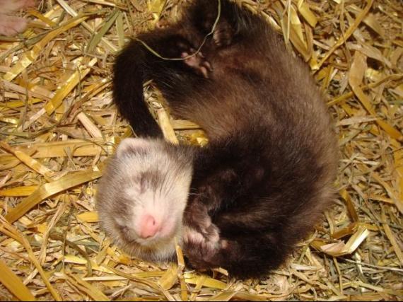 Femelle arlequine raté agé de 47 jours 1