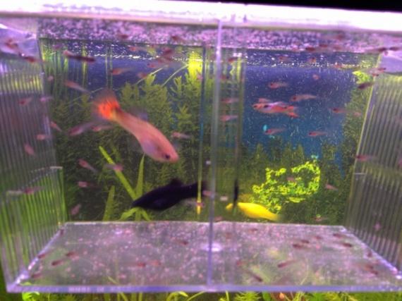 Guppy pleine aquariums et vivariums forum animaux for Reproduction poisson rouge