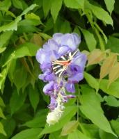 Glycine et papillon