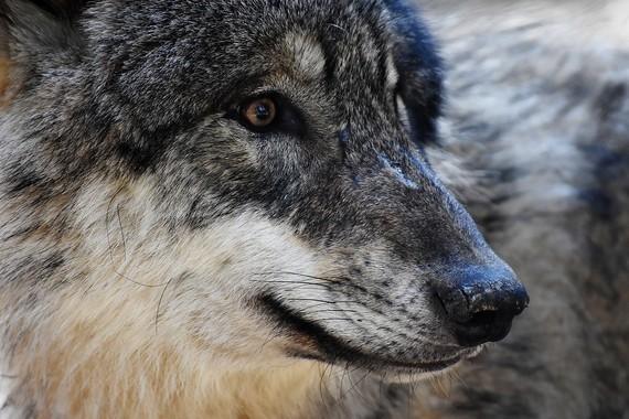wolf-2186902_960_720