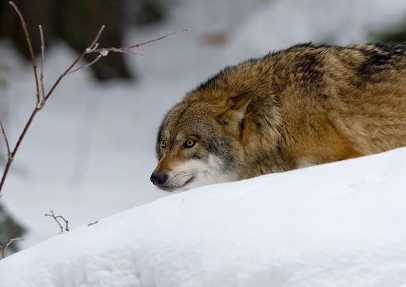 wolf-2145949_960_720