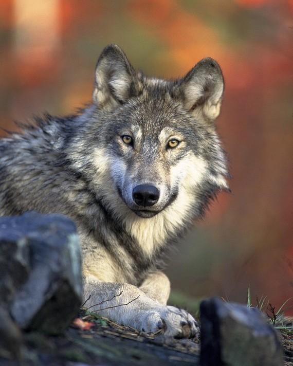 wolf-62898_960_720