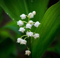 lily-of-the-valley-2247075_960_720