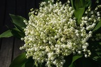 lily-of-the-valley-2188398_960_720