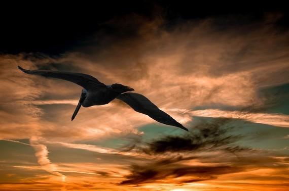 pelican-901004_960_720