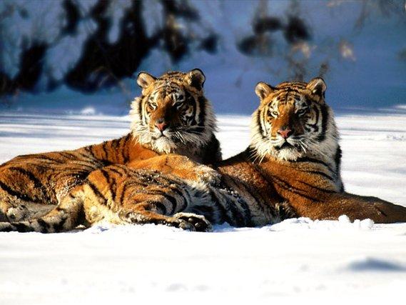 tigres-05
