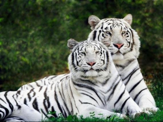 fond-ecran-tigres-blancs