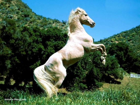 5578_real_8490-cheval-blanc-debout