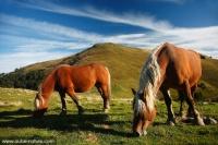 6147-cheval-comtois
