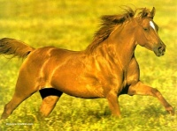 real_9164-cheval-au-galop-prairie