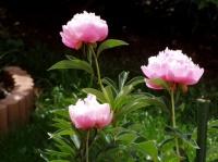 Pivoines - 1ère floraison
