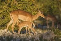 impala-et-son-petit-en-namibie-550641af