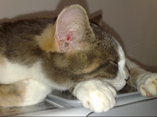 Gale des chats oreilles for Exterieur oreille qui gratte