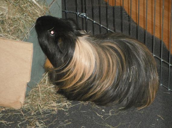 Question apr s naissance cochon d 39 inde hamsters cochons d 39 inde lapins forum animaux - A quel age une poule pond ...