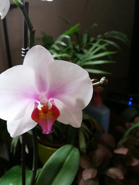 comment s 39 occuper d 39 une orchid e jardinage forum vie pratique. Black Bedroom Furniture Sets. Home Design Ideas