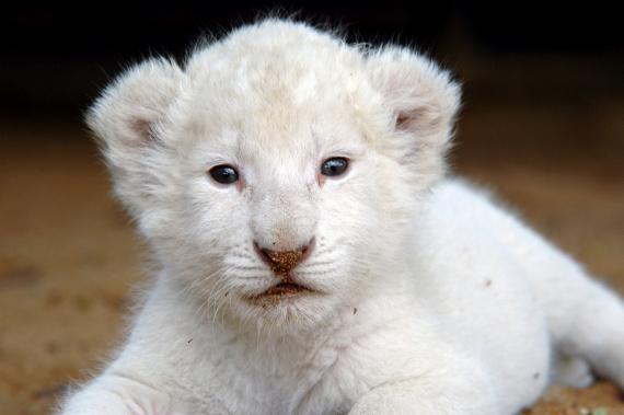 lion-blanc