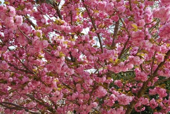 les arbres de nara 1 570x381 mes petites fleurs madame rose photos club doctissimo. Black Bedroom Furniture Sets. Home Design Ideas
