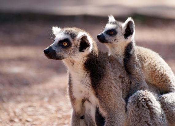 lemuriens_mambebe