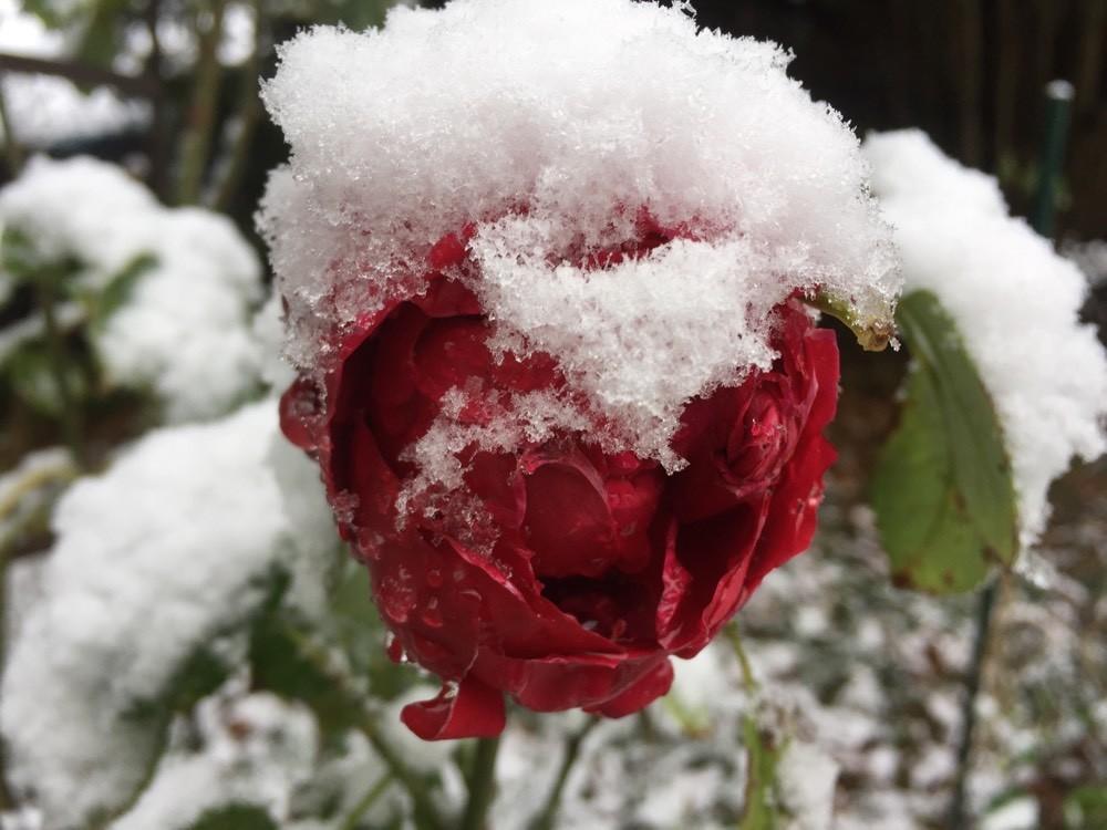ROSE sous la neige