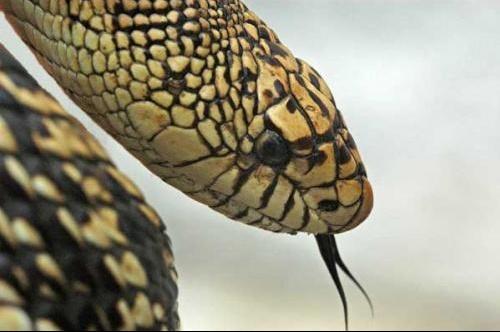 serpent_langue