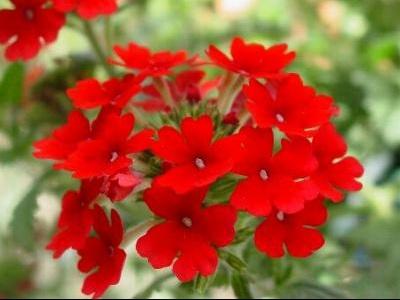 fleur%20rouge