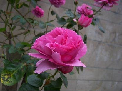 rose%20fushia